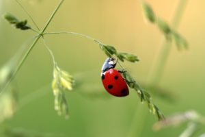 Formation coccinelles